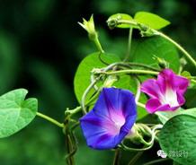 标题:常见立体绿化攀缘花卉万博体育手机版登录:2014-11-5
