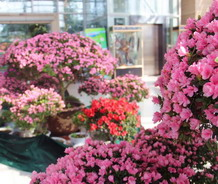 标题:重庆南山植物园举办第二届丹东杜鹃花展万博体育手机版登录:2015-1-14
