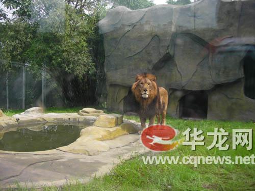 """重庆动物园开放4个新馆 猩猩狮子住上""""别墅"""""""