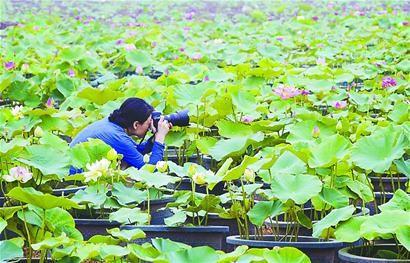 位摄影爱好者在基地内拍摄.盆景荷花虽还未大面积盛开,但已吸引