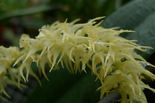 上海植物园芳香怡人的玉竹石豆兰