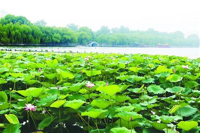 山东:济南大明湖风景区荷花盛开