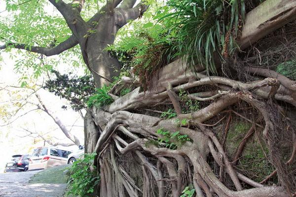黄葛树 重庆风景园林网 重庆市风景园林学会