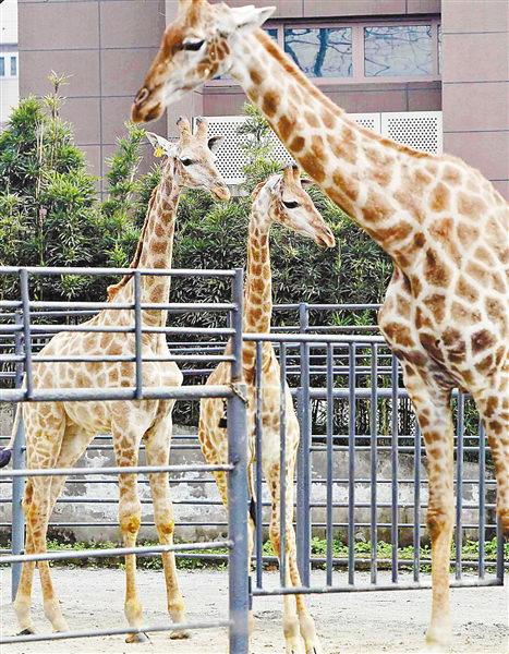 重庆动物园:你想让小长颈鹿叫什么名字