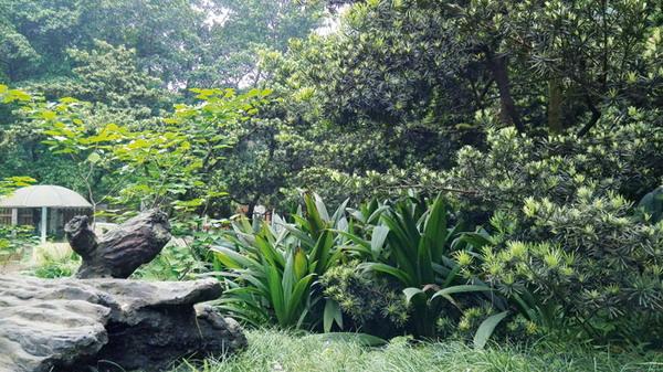 大叶仙茅(Curculigo capitulata)又名地棕、野山棕、假槟榔树,为石蒜科仙茅属多年生草本植物。广泛分布在重庆地区的山野林间,是我市典型的乡土植物。大叶仙茅株形美观,叶色翠绿,耐阴性强,是优良的园林地被植物。 1/形态特征 多年生草本植物,高可达1米多。地下具块状根茎,肉质。全叶略弯曲,具有折扇状叶脉。叶片基生,披针形或近长圆形,长40-90cm,纸质,全缘。叶柄长30-80cm,上面有槽,侧背面均密被短柔毛。成株丛生状,形态优美,似棕榈幼苗。花茎通常短于叶,长15-30cm,被褐色长柔毛,