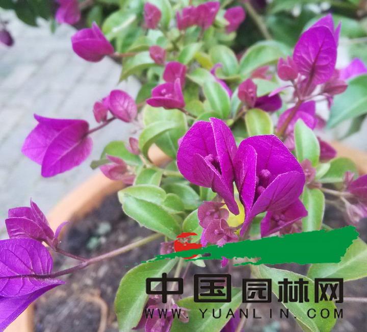 庭院观赏植物三角梅 何时绽放杭城风景