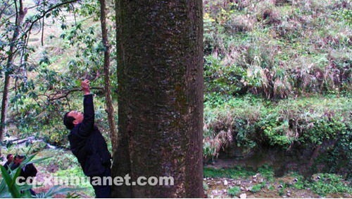 重庆:又发现金丝楠木群