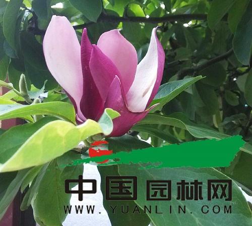 """杭城绿化行道树玉兰""""春花夏开""""树姿婆娑 重庆风景园林"""
