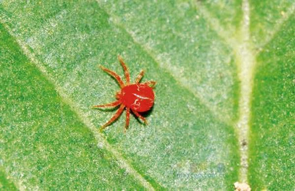 杜鹃的常见病虫害种类及防治——重庆风景园林网