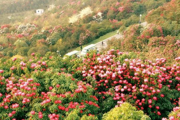 金佛山的珍奇杜鹃花——重庆风景园林网 重庆市风景