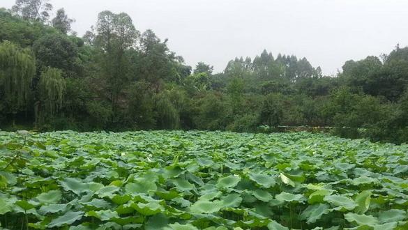 重庆:四川美术学院荷塘夏色——重庆风景园林网