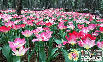 现在的大木花谷林下花园,连片的郁金香美不胜收,五颜六色,形态各异,花