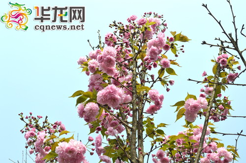 樱花许愿树,在美丽的樱花树下写上美好希冀
