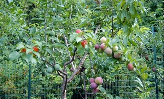 果树嫁接技术及方法图解
