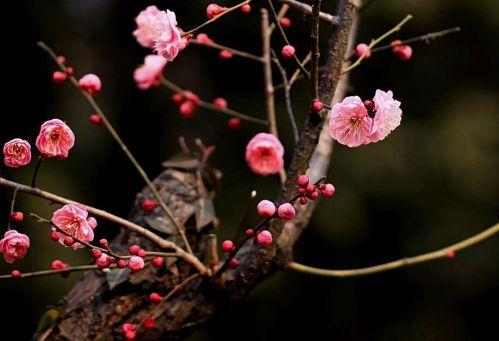 """杭州:樱花盛开 """"梅""""不胜收——重庆风景园林网 重庆市"""