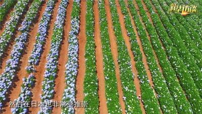 绣球花 焕彩千年夏之花——重庆风景园林网 重庆市