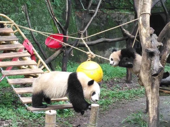 """2016年7月11日,重庆动物园大熊猫兰香产下双胞胎,这是重庆动物园大熊猫双胞胎首次育幼成活。 繁育的双胞胎熊猫,出生至今两个国宝生长良好,今年7月11日将满两岁。  为了满足熊猫幼仔天性好动的特性,把熊猫逗人喜爱,充分展示给游客。为此,重庆市动物园特别为熊猫幼仔搭建了滑梯、索桥、攀爬树桩,塑料球等,让双胞胎熊猫宝贝能同广大儿童一样,开心玩耍,相互嬉戏,共同过上快乐开心的""""六一""""儿童节。"""